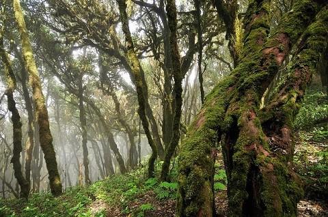 Отдых на островах Испании, канарские острова, остров Гомера, древний лес