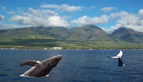 Отдых на Гавайских островах - Горбатые киты на Гавайях