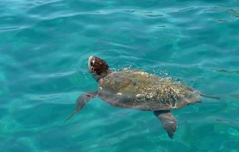 Отдых на островах Греции, остров Закинф, черепахи «карета-карета»