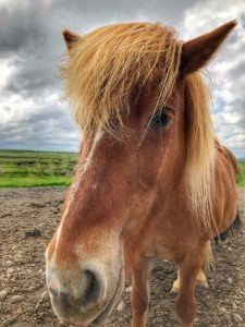 Icelandic Horse Spotted while touring Icelands Golden Circle