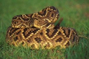 National Rattlesnake Roundup - where can I buy rattlesnake to eat in California?