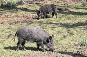 Feral Hog Month or Hog Out Month - Catching Feral hogs and feeding them grain?