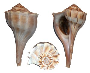 Lightning Whelk Week - Stocking advice for 40 gallon breeder.?