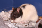 American Fancy Rat and Mouse Association - Wikipedia, the free ...
