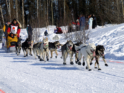 What is the arrangement of sled dogs in and Iditarod race?????????????