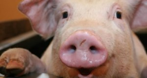 Pig Day - why is the National Pig Day celebrated in New York?