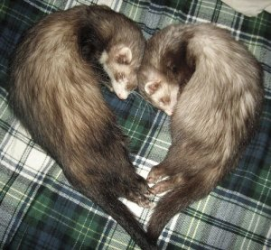 National Ferret Day - Why is my birthday on National Breakup Day?