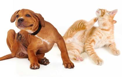 pet skin conditions dog-and-cat-itching-skin-allergies