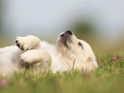 white puppy laying in grass
