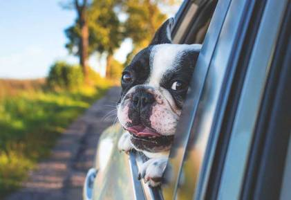 dog traveling in car head out the window