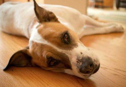 vomiting-dog-nausea-cbd-oil