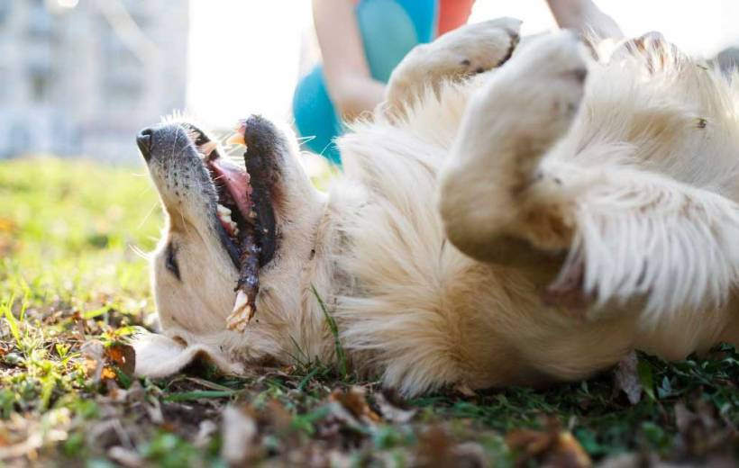 Anti-itch-for-dogs-grass