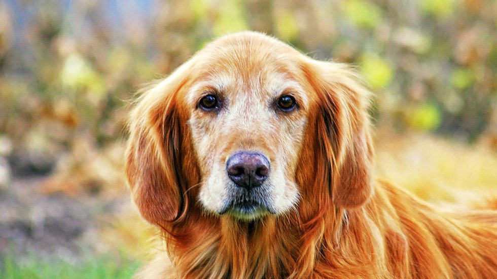 senior-golden-retriever-header