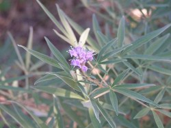 Why Agnus Castus is in the Herbal Treatment for Recovery from Adrenal Exhaustion & Rehabilitation from Adrenal Abuse