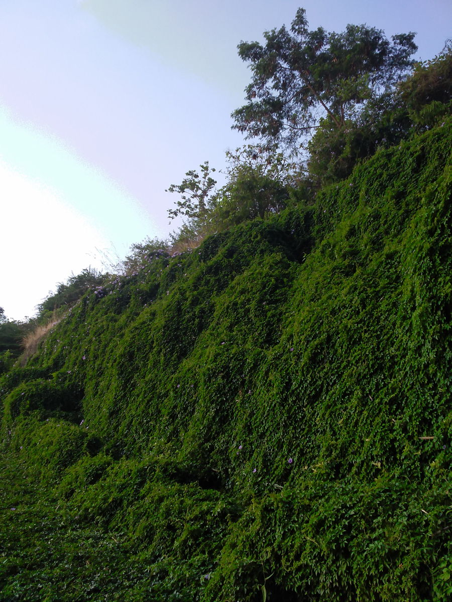 asystasia-gangetica-hillside.jpg