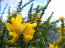 How Bach Flower Gorse supports natural healing in horses