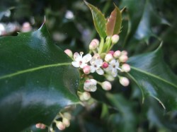 How Bach Flower Holly supports natural healing in horses
