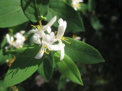 How Bach Flower Honeysuckle supports natural healing in horses