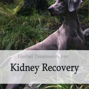 Herbal Treatment for Kidney Recovery in Dogs