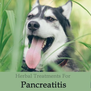 Herbal Treatment for Pancreatitis in Dogs