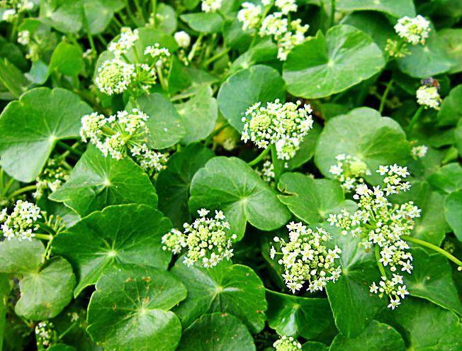 gotu-kola-herbal-medicine