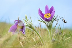 Why Pasque Flower  is in the Herbal Treatment for Painful Periods with Heavy Bleeding