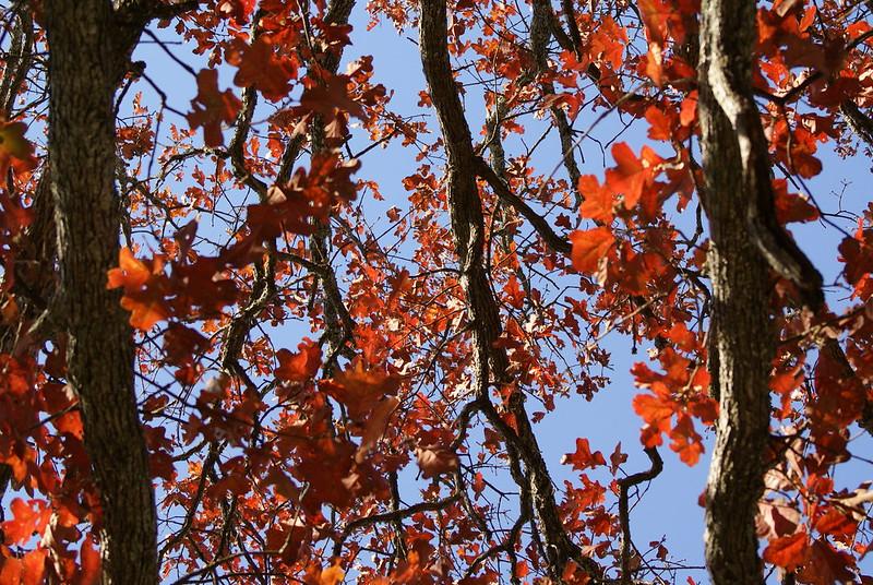 red-oak-leaves-herbal-medicine
