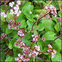 Spikenard as Herbal Medicine