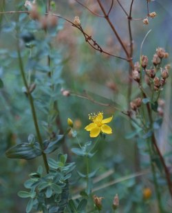 Why Hypericum  is in the Herbal Anti-Inflammatory and Pain Killer Tonic