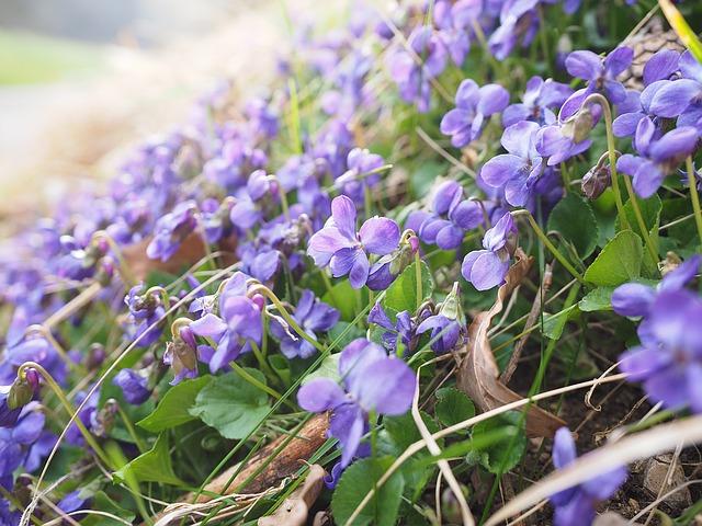 violet-herbal-medicine