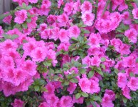 September: azalea blooms (gardening)