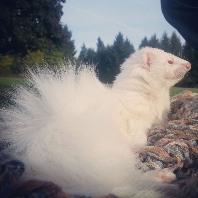 Angora Ferret  Photo Credit: Pauline Fraedrich Ferret: Ziva