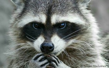 Day Nine:  When Life Gives You a Raccoon – Or – When Life Gives you Raccoon Eyes