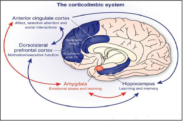 The-corticolimbic-system-consists-of-several-brain-regions-that-include-the-rostral_W640