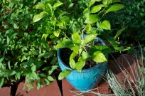 Our experiment - we are growing a miniature Meyer lemon tree that we hope to over-winter this season. I am missing my Florida citrus!