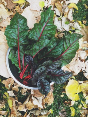 swiss chard from the garden in fall leaves
