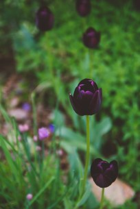 These are my FAVORITE tulips: they are almost black.