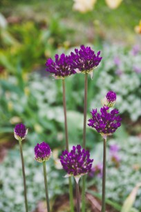Purple alliums ready to bloom. They attract so many bees and look like they just walked out of a Dr. Seuss book.