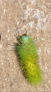 a crazy caterpillar!