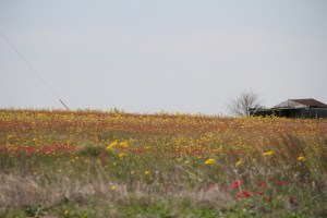 Love the indian paintbrush.  There were bluebonnets too but they still need to grow a little for you to see them.