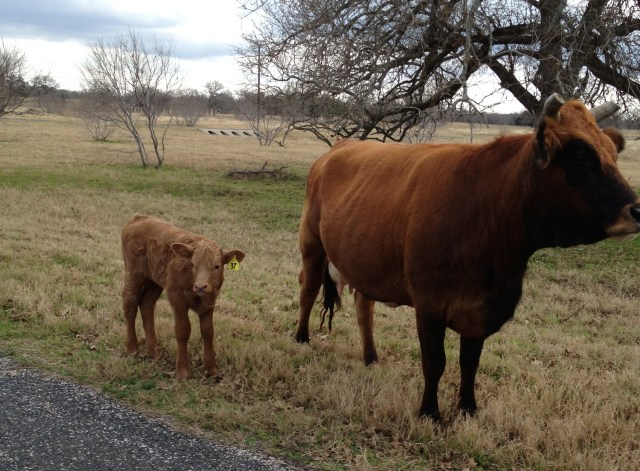 Hey Diane - this little calf greeted me when I got home Sunday!  I just love these baby cows!
