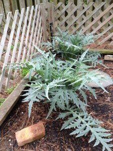 My artichokes have at least quadrupled in size.