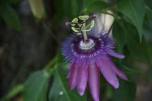 My Passion Vine - I love this flower!