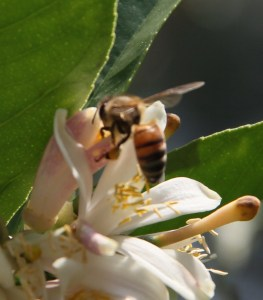 Trying to capture the wings of the bee - but I don't want to interrupt his very important work!