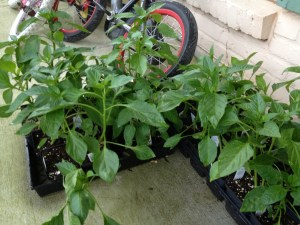 Peppers waiting to be planted