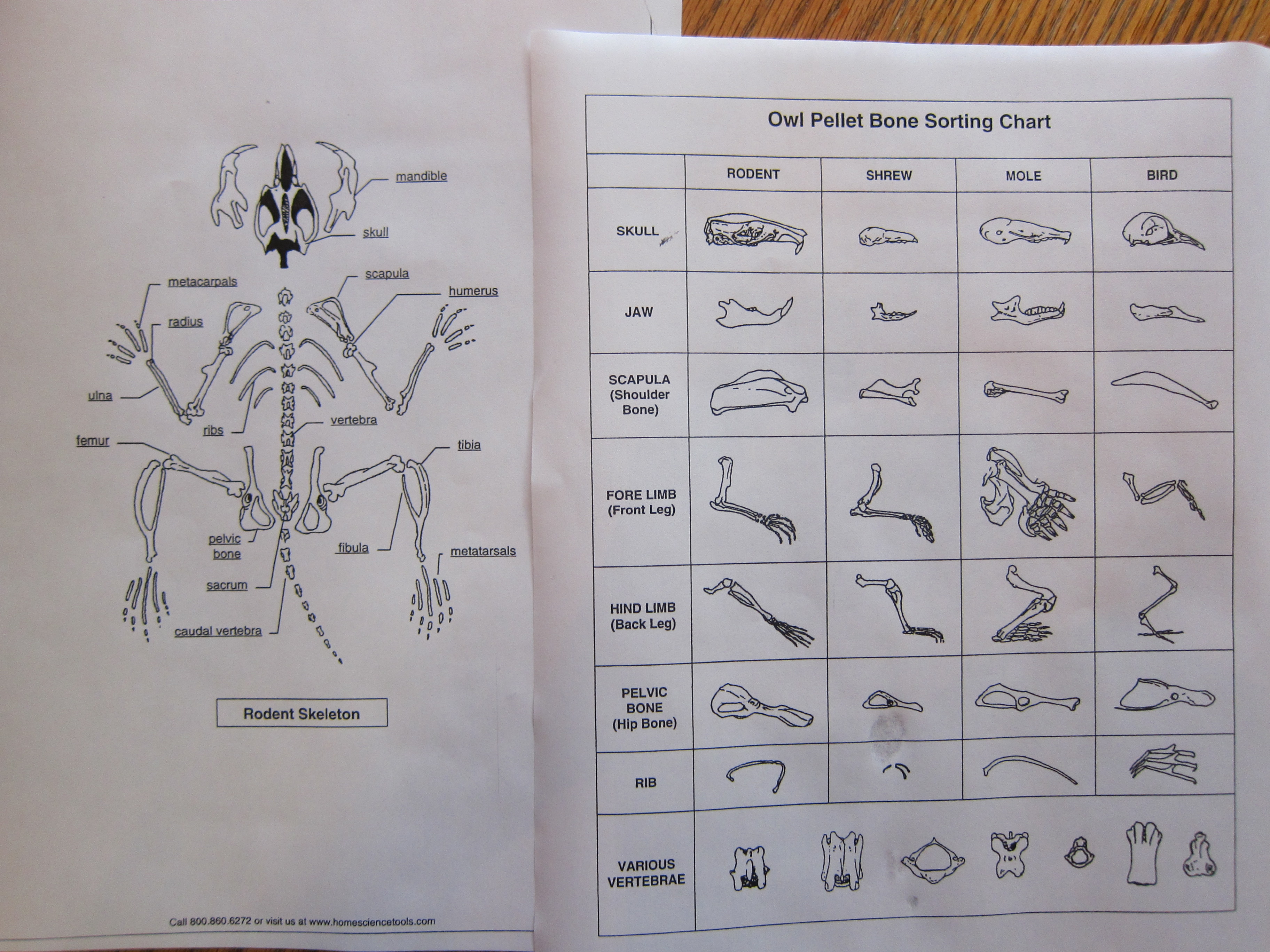 Owl Pellet Dissection Worksheet