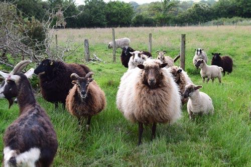 sheep of holmus