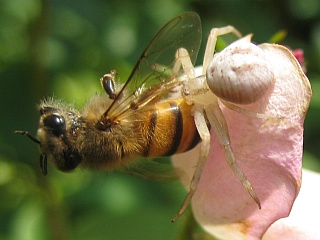 Aranha segurando abelha