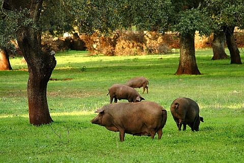 Porcos criados soltos
