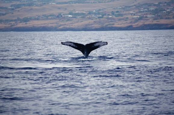 Feb Kawaihae Whale Watch